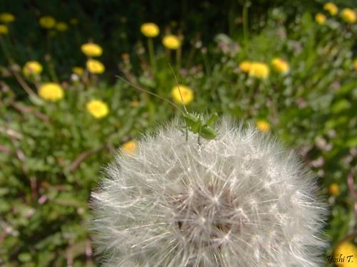 flower_dandelion_w_locust1.jpg