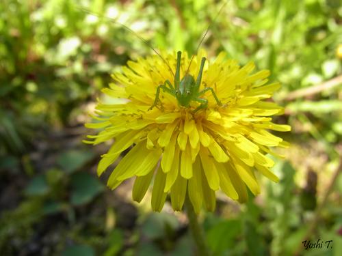 flower_dandelion_w_locust2.jpg