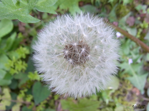 flower_dandelion_w_locust3.jpg