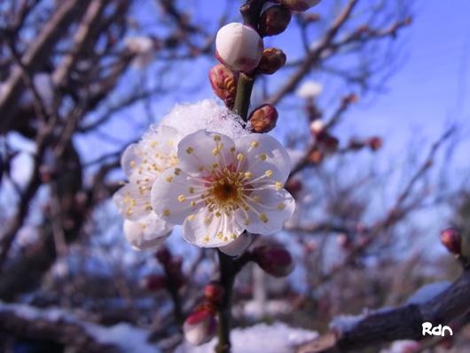 plum&snow.jpg